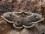 Large Emperor Moth (Saturnia pyri)